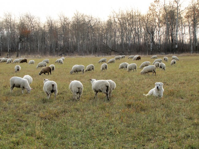 Bouw lambs on alfalfa pasture in early October