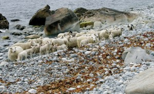 The sheep graze on grass in the summer and seaweed in the winter.