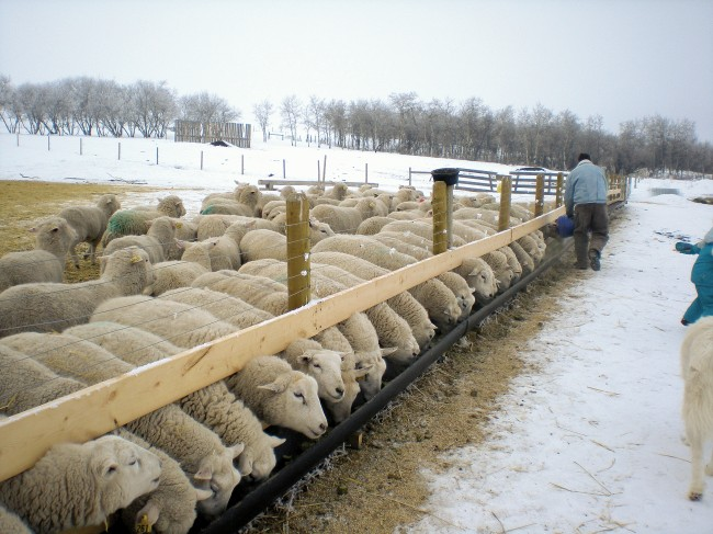 "Claude built these fenceline feeders from 12"" gas pipe, cut in half. Mounted with lag bolts, the 2 x 4s are easily adjustable for sheep of different sizes. The ewe lambs occasionally knock hay cubes over the back of the feeder, and Claude later added a plywood backboard to reduce feed wastage. Photo by Kathleen Raines."