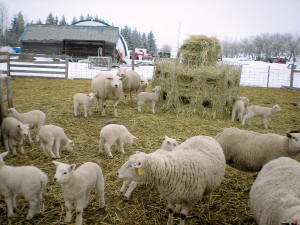 Month old Texel and Texel cross lambs. The ewe ration includes barley, alfalfa cubes and free choice greenfeed. The round bale feeder is from the CCWG. Photo by Kathleen Raines.