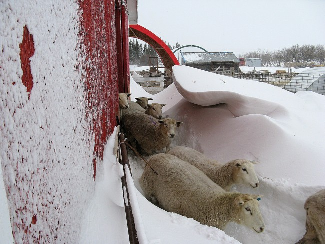 Ewes exit the barn after a night of snow and high winds. Photo by Debbie Delisle.