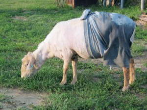 Wendy was much more comfortable after being washed, sheared, and treated.