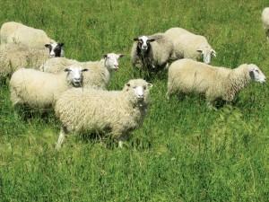 The flock has Romanov, Dorset and Rideau Arcott bloodlines.