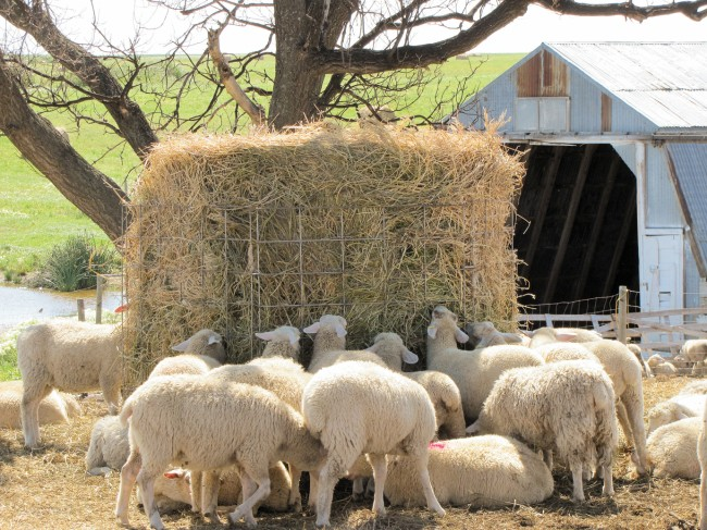 This round bale feeder was constructed from galvanized wire panels. The lambs are able to push it around and eat the whole bale, but they do lose an ear tag occasionally.