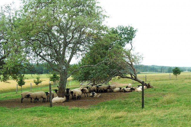 George's father asked him to cut this tree down back in 2000, when it fell over. But the sheep love the shade and the family still get Russet apples from it each year. Photo by Melaney Matheson
