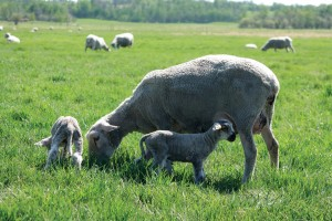 Rod and Bernadette have found the Canadian Arcott ewes to be easy keepers and good mothers.