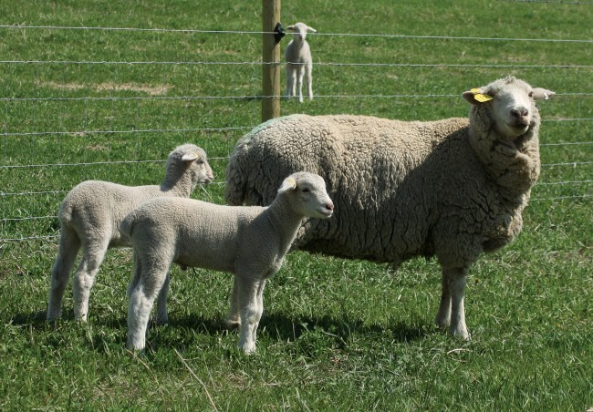 A Rambouillet ewe and her twins at Oxbow Ranch.