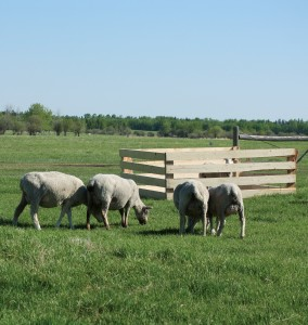 When the weather is fine, ewes with triplets or those needing help can be put in a claiming pen right on the pasture.