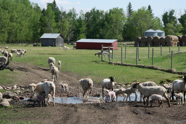 The weather has been exceptionally wet at Oxbow Ranch; this stream is normally dry at the end of May, but forms a barricade for ewes and lambs that are not quite ready to cross and move out to pasture;