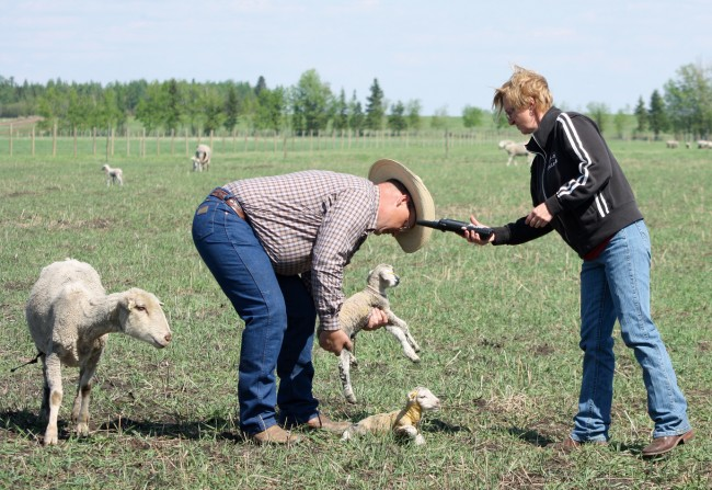 Darlene Stein uses the Psion handheld recorder to read the RFID tags that Rudy has just put in these newborn lambs.