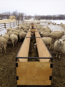 Home-made feed bunks are filled daily