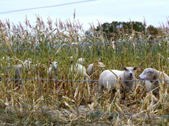 Corn is an important part of the Catto feeding program. The whole plant can be used for grazing ... (Photo courtesy of Martin & Louise Catto)