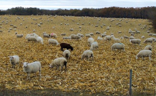 ... or the crop can be combined and ewes grazed on the aftermath. (Photo courtesy of Martin & Louise Catto)
