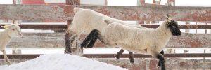 Sheep Canada Magazine - Lamb